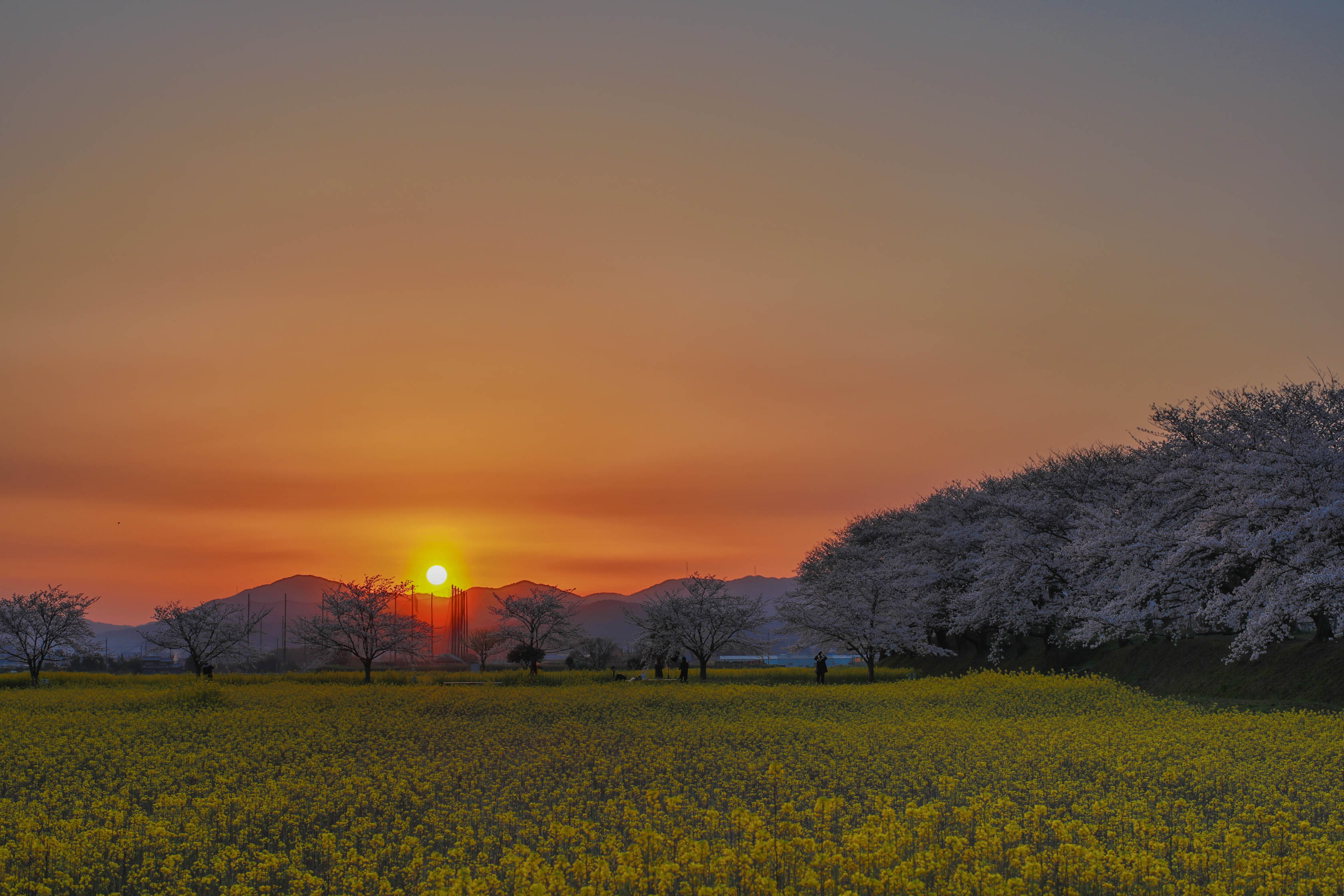 【奈良県】藤原宮跡の桜と菜の花を撮りに行きました(2019年4月5日、6日)