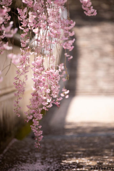 CANON EOS5Dmark4 +  CANON EF70-200mm F2.8L IS III USM で撮影した奈良県長谷寺の桜