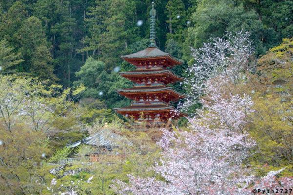 CANON EOS5Dmark4 +  CANON EF70-200mm F2.8L IS III USMで撮影した奈良県長谷寺の五重塔と桜吹雪