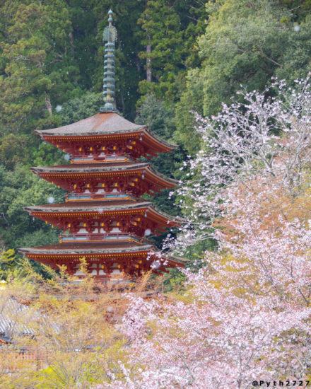 奈良県長谷寺の五重塔と桜吹雪
