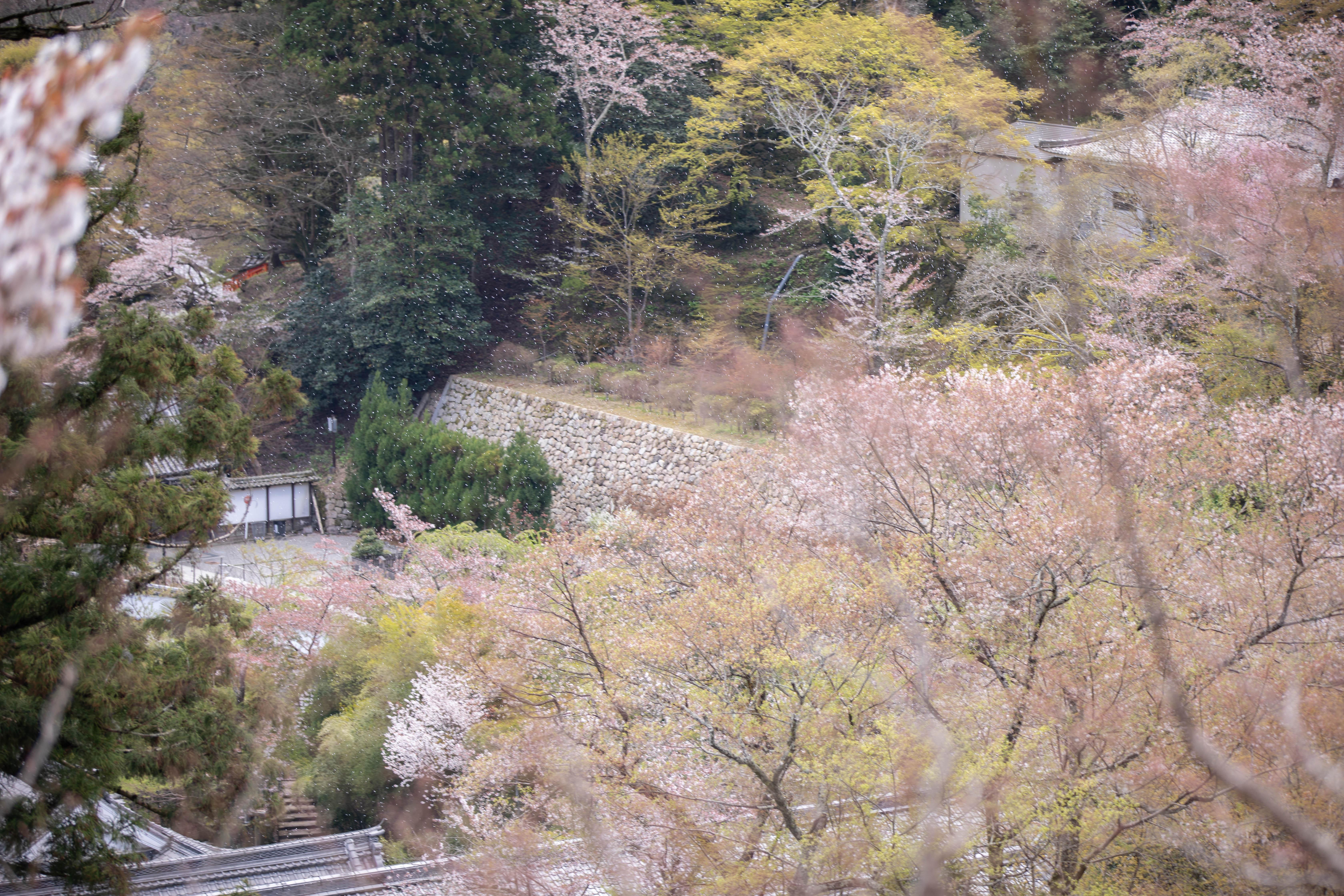 奈良県長谷寺の桜吹雪