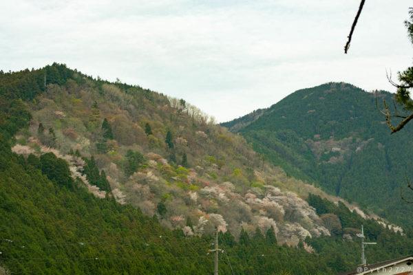 天川村の桜