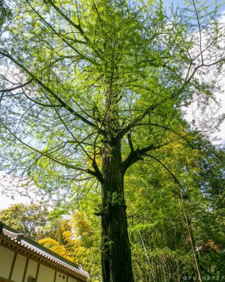 石上神宮の木々