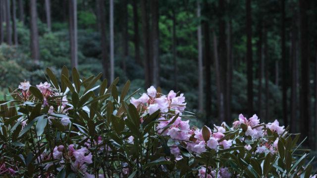 【奈良県】弁財天石楠花の丘に行ってきたよ【花・撮影スポット】(2019年5月18日)