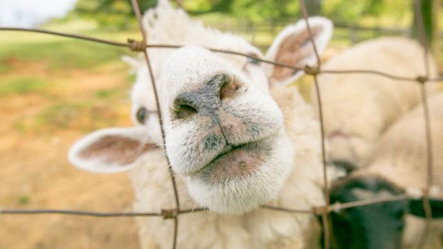 【奈良県】山添村 めえめえ牧場へ羊を撮りに行く【動物・撮影スポット】