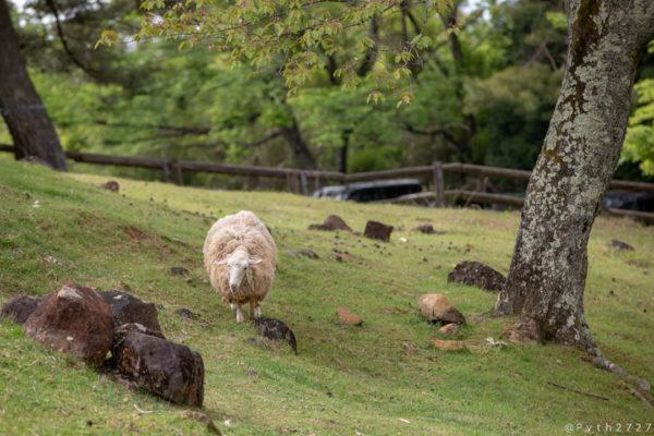 奈良県山添村めえめえ牧場の羊