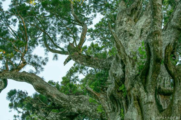 玉置神社神代杉