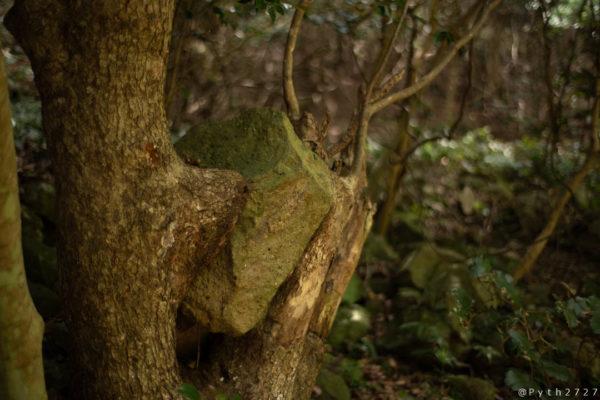 友ヶ島の木に挟まった石