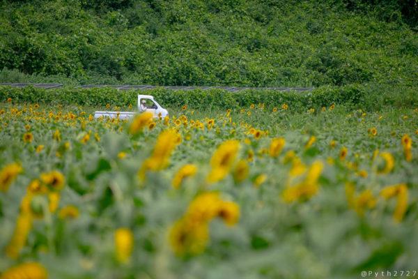 上野町ひまわり園の向日葵
