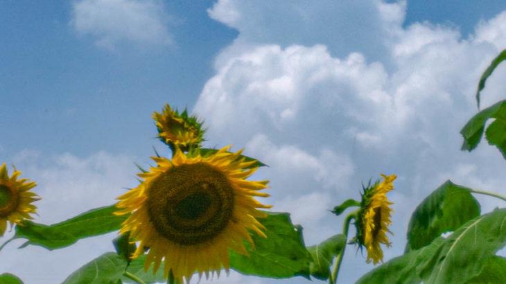 上野町ひまわり園へ向日葵を撮影に行きました(2019/07/28・奈良県五條市)