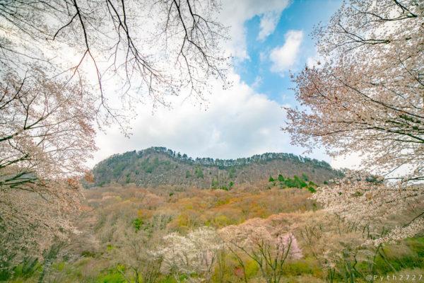 山桜と屏風岩