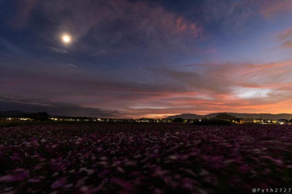 藤原宮跡の月とコスモス