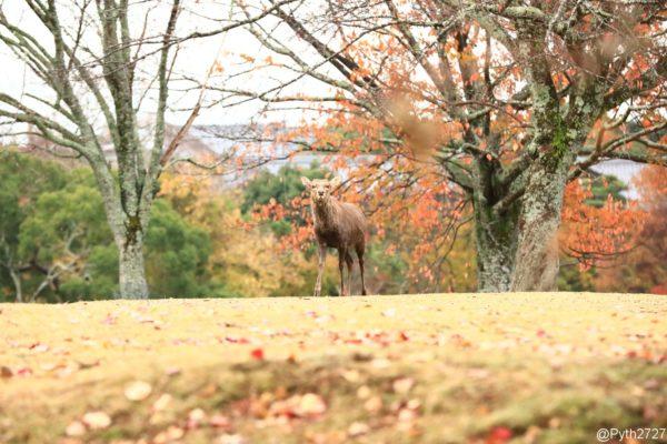 奈良公園飛火野の鹿