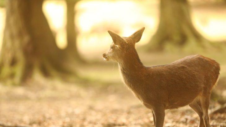 奈良公園・飛火野に鹿を撮りに行ってきました(奈良県奈良市)