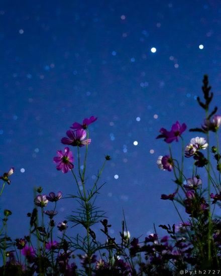 藤原宮跡の星空とコスモス