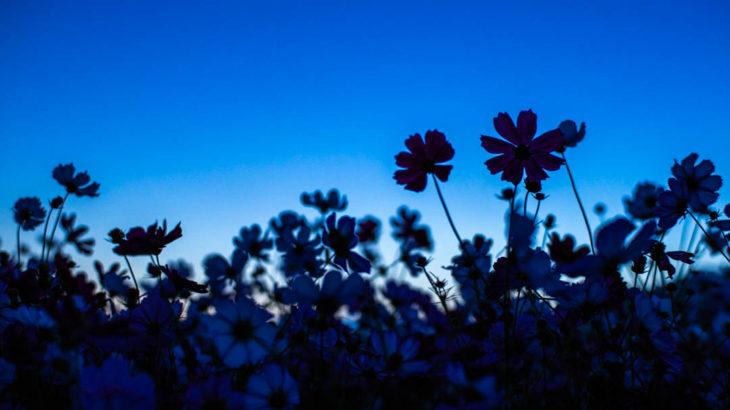 藤原宮跡とコスモスと星空を撮影に行きました(奈良県桜井市)