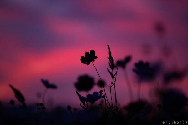 藤原宮跡の夕焼けとコスモス