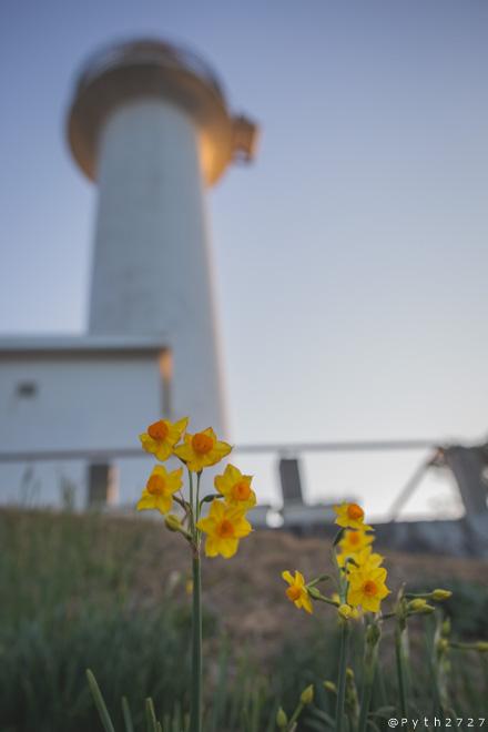麦崎灯台と水仙