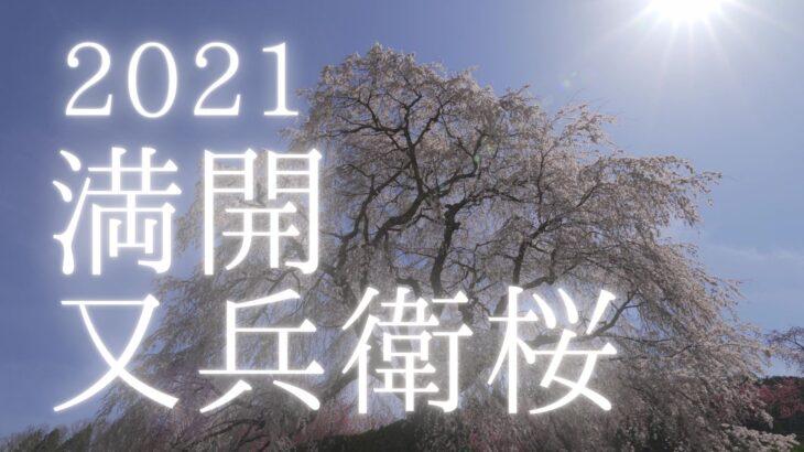 【動画】2021年満開の又兵衛桜を動画撮影しました