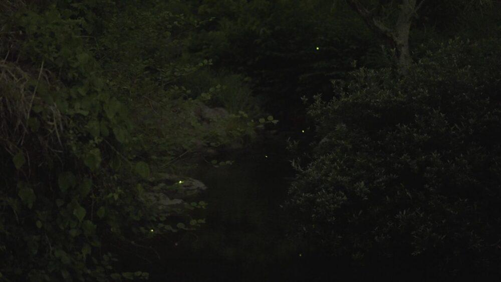 飛鳥川 蛍 奈良県
